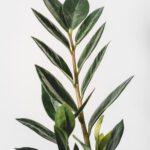 Hierom kies je een laurier bij Haagplanten Heijnen